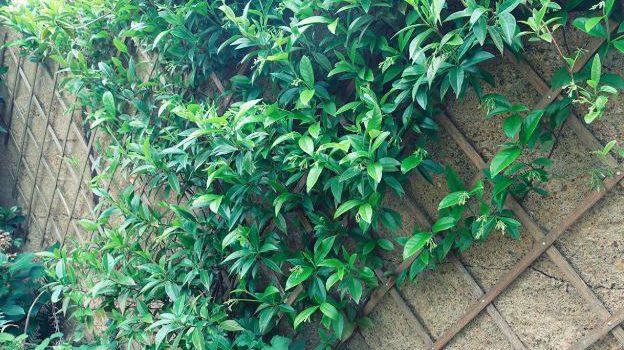 Essayez les plantes grimpantes